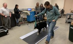 Gait Analysis for Sheep